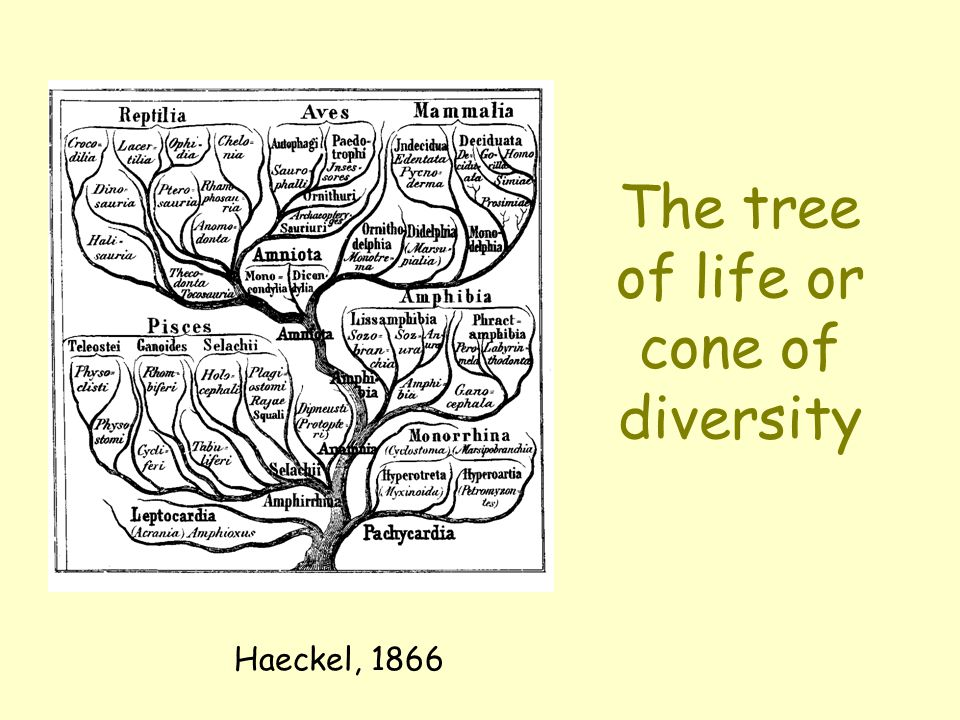 The tree of life or cone of diversity Haeckel, 1866