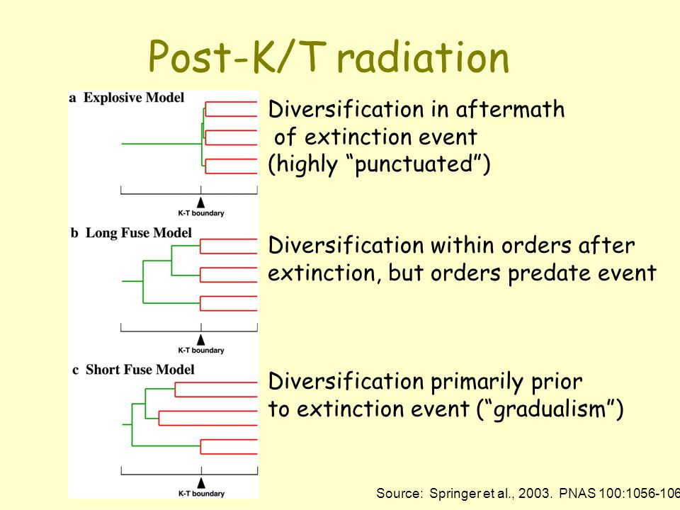 Post-K/T radiation Diversification in aftermath of extinction event (highly punctuated ) Diversification within orders after extinction, but orders predate event Diversification primarily prior to extinction event ( gradualism ) Source: Springer et al., 2003.