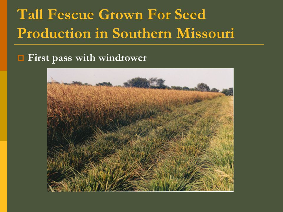 Tall Fescue Grown For Seed Production in Southern Missouri  First pass with windrower