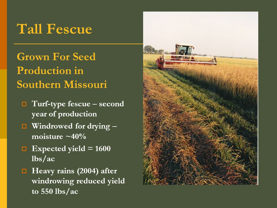  Turf-type fescue – second year of production  Windrowed for drying – moisture ~40%  Expected yield = 1600 lbs/ac  Heavy rains (2004) after windrowing reduced yield to 550 lbs/ac