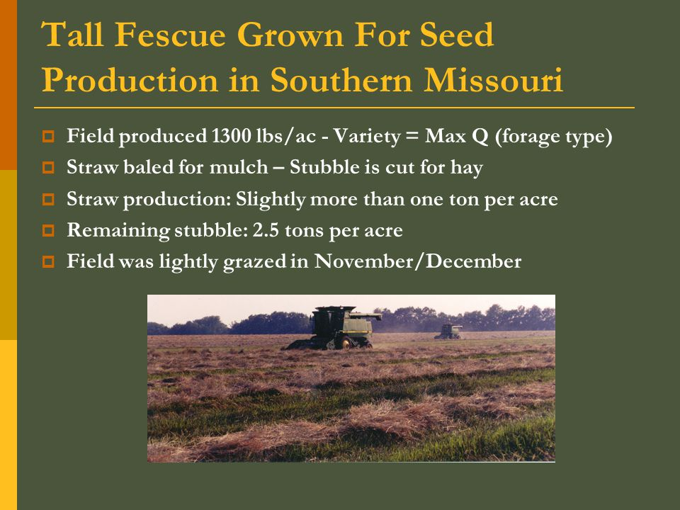 Tall Fescue Grown For Seed Production in Southern Missouri  Field produced 1300 lbs/ac - Variety = Max Q (forage type)  Straw baled for mulch – Stubble is cut for hay  Straw production: Slightly more than one ton per acre  Remaining stubble: 2.5 tons per acre  Field was lightly grazed in November/December
