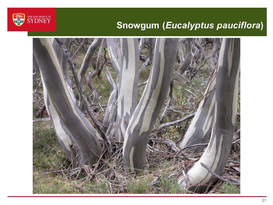 Snowgum (Eucalyptus pauciflora) 21