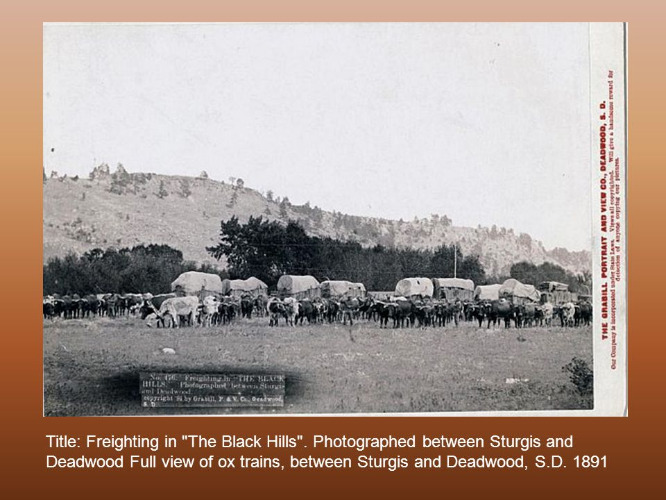 Large bull train of oxen and three wagons on its way to the Black Hills. 1890