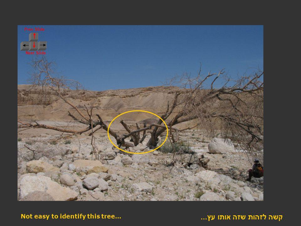 Prev Slide Next Slide קשה לזהות שזה אותו עץ... Not easy to identify this tree…