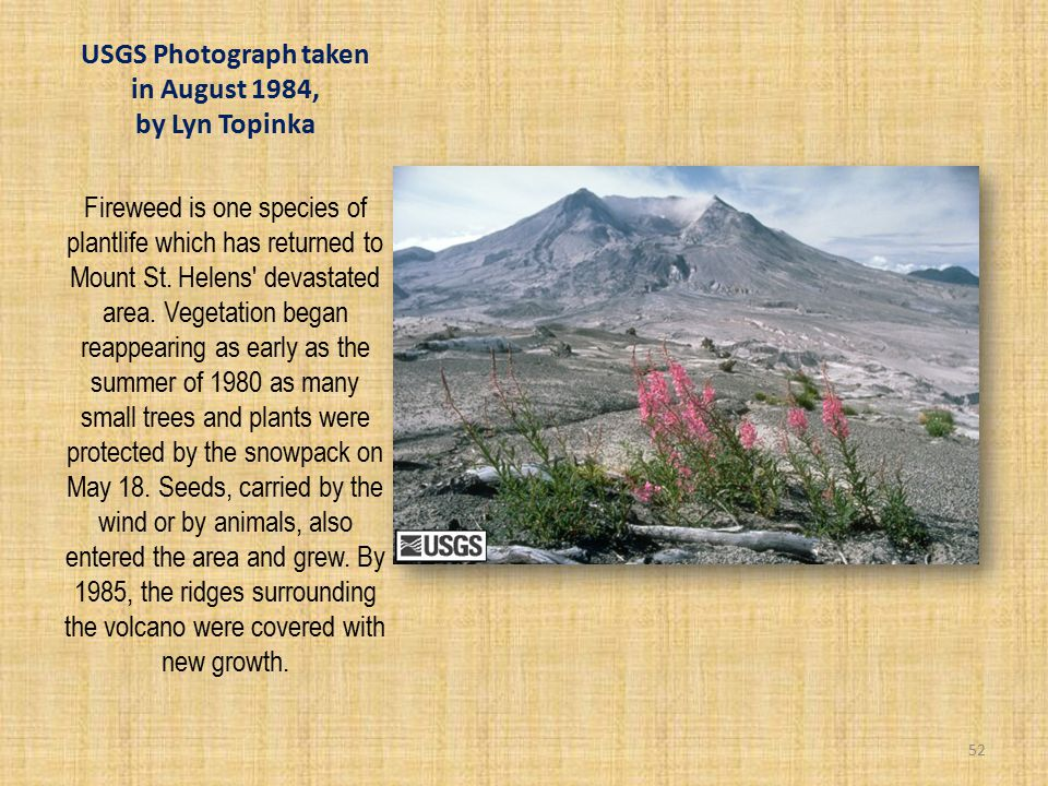 USGS Photograph taken in August 1984, by Lyn Topinka Fireweed is one species of plantlife which has returned to Mount St.