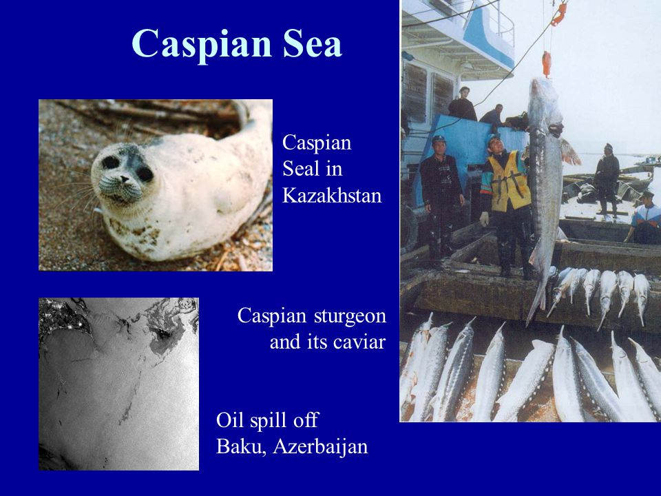 Oil spill off Baku, Azerbaijan Caspian Sea Caspian sturgeon and its caviar Caspian Seal in Kazakhstan