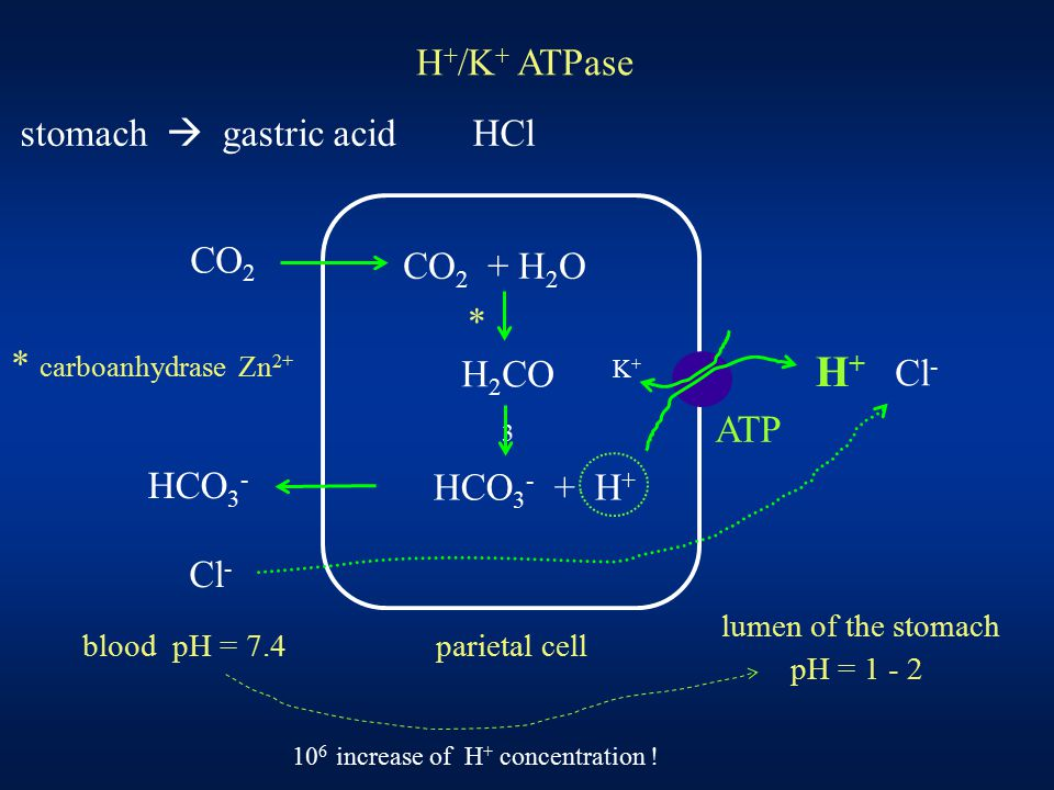 H + /K + ATPase stomach  gastric acid HCl * carboanhydrase Zn 2+ CO 2 CO 2 + H 2 O HCO 3 - HCO 3 - + H + H 2 CO 3 K+K+ H+H+ ATP Cl - * parietal cell