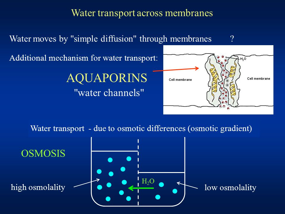 Water transport across membranes high osmolality H2OH2O low osmolality Water moves by