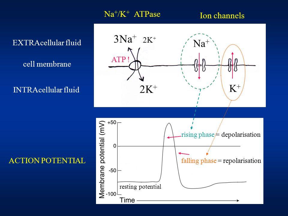 3Na + cell membrane 2K + ATP .