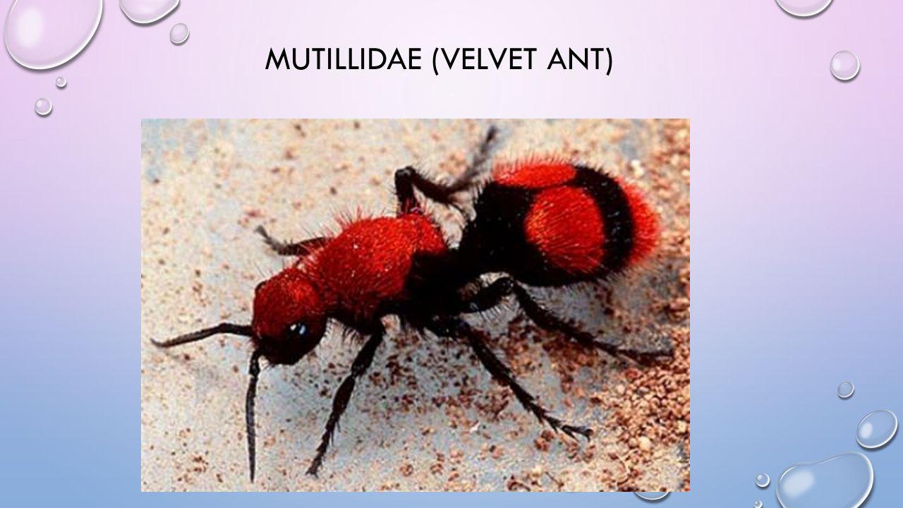 MUTILLIDAE (VELVET ANT)