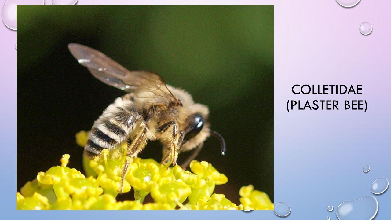 COLLETIDAE (PLASTER BEE)