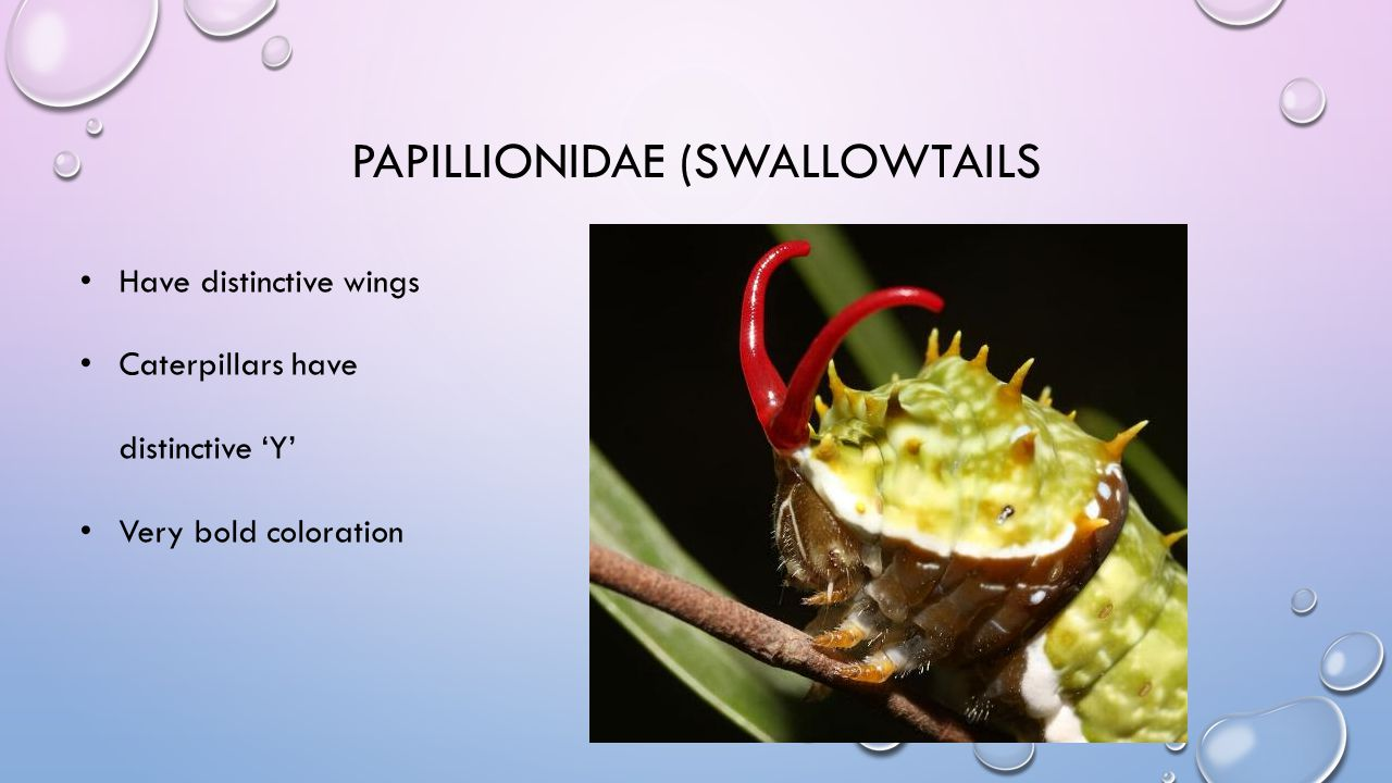 PAPILLIONIDAE (SWALLOWTAILS Have distinctive wings Caterpillars have distinctive 'Y' Very bold coloration