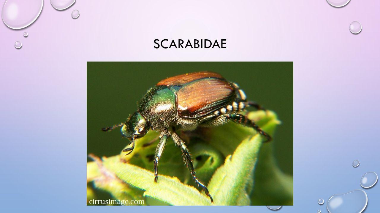 SCARABIDAE
