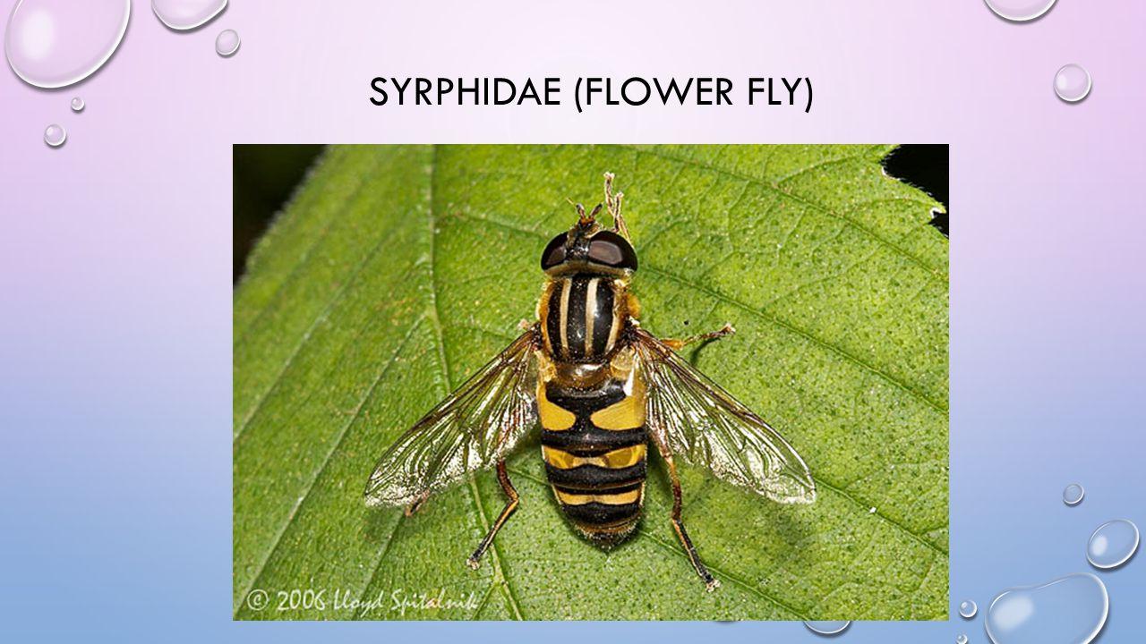 SYRPHIDAE (FLOWER FLY)