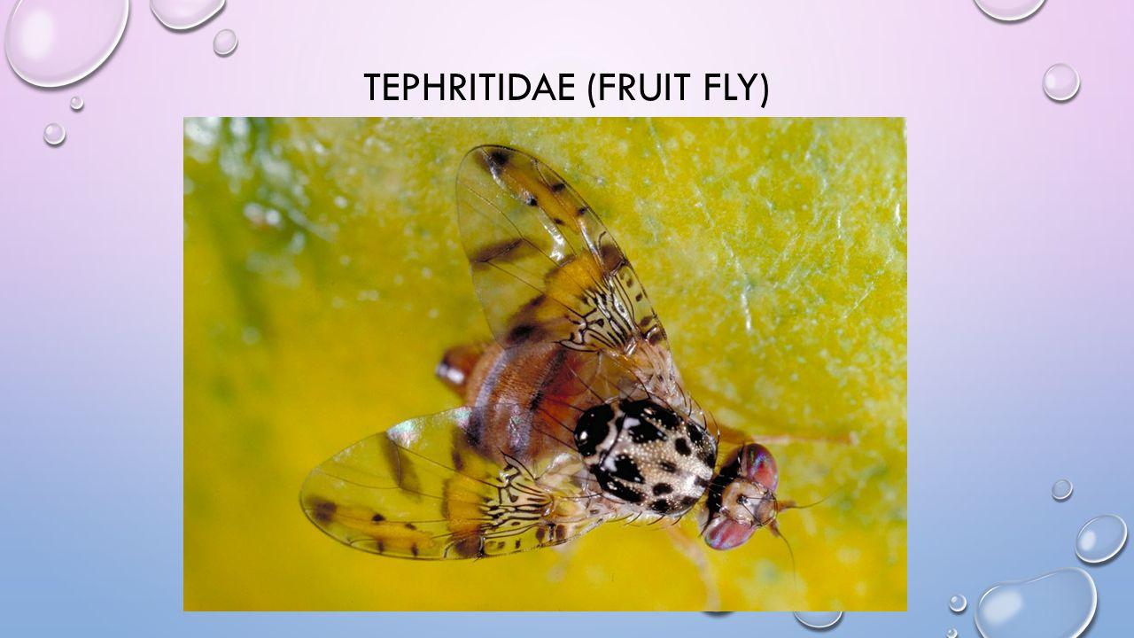 TEPHRITIDAE (FRUIT FLY)