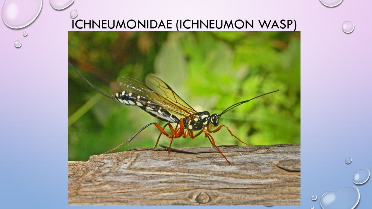 ICHNEUMONIDAE (ICHNEUMON WASP)