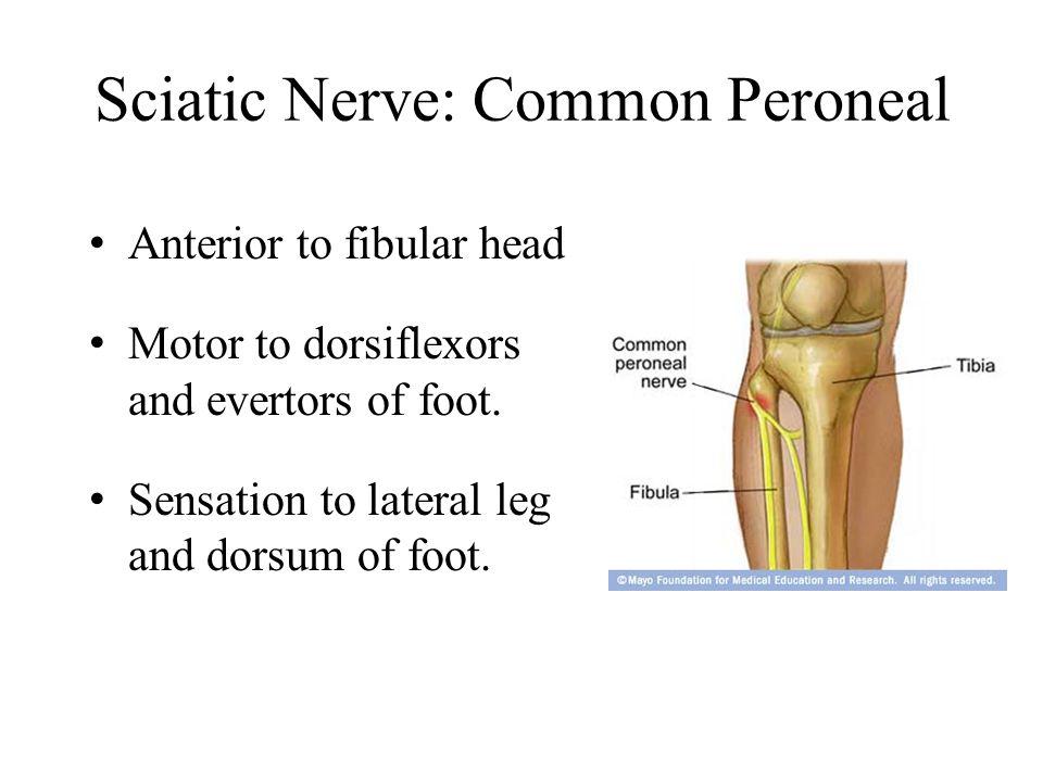 Sciatic Nerve: Common Peroneal Anterior to fibular head Motor to dorsiflexors and evertors of foot.