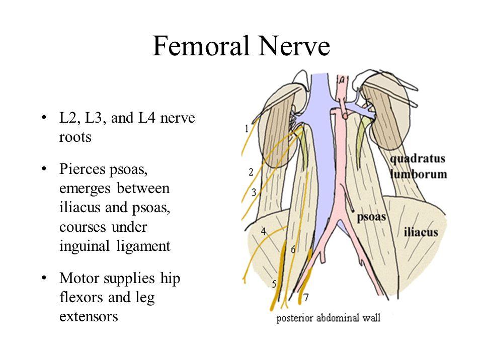 Femoral Nerve L2, L3, and L4 nerve roots Pierces psoas, emerges between iliacus and psoas, courses under inguinal ligament Motor supplies hip flexors and leg extensors