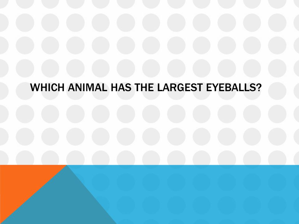 WHICH ANIMAL HAS THE LARGEST EYEBALLS?