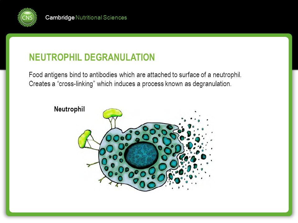 """Cambridge Nutritional Sciences NEUTROPHIL DEGRANULATION Food antigens bind to antibodies which are attached to surface of a neutrophil. Creates a """"cro"""