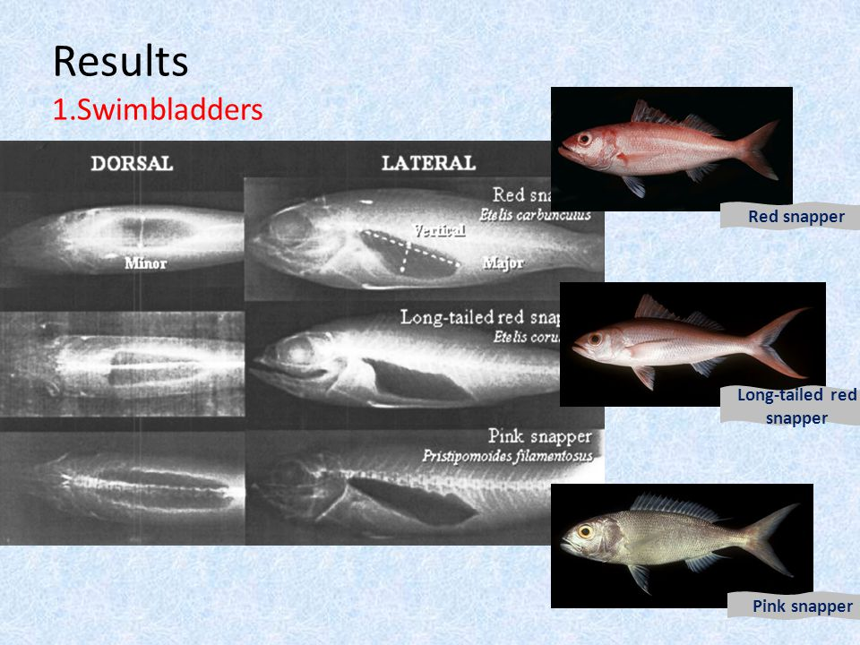 Results 1.Swimbladders Red snapper Long-tailed red snapper Pink snapper