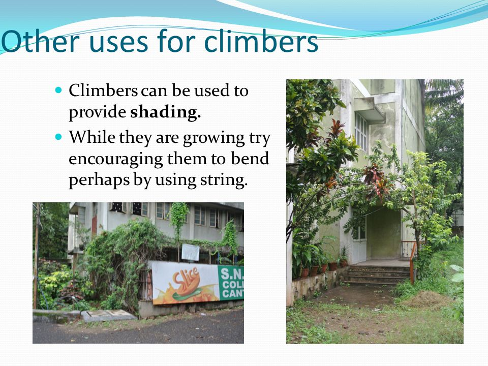 Other uses for climbers Climbers can be used to provide shading.