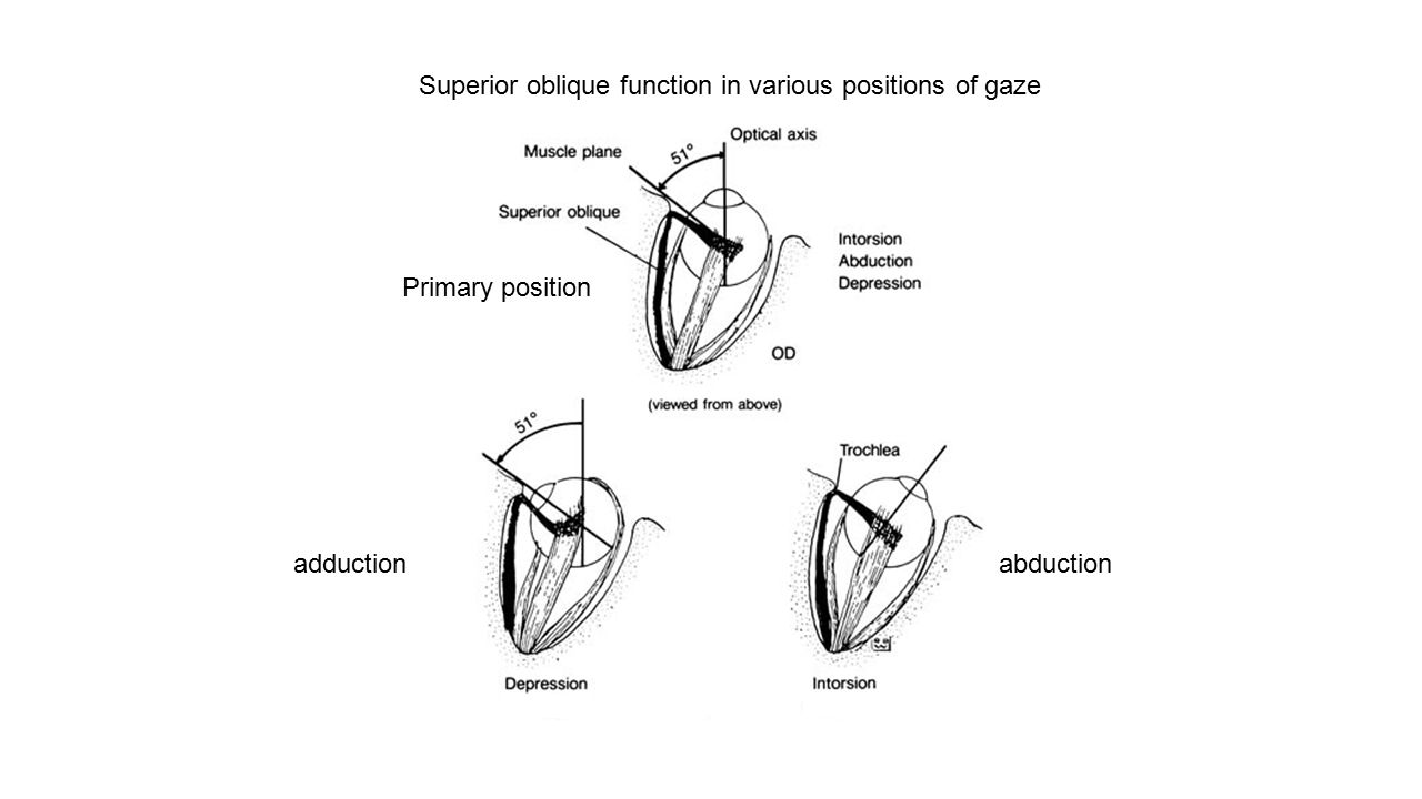 Superior oblique function in various positions of gaze Primary position adductionabduction