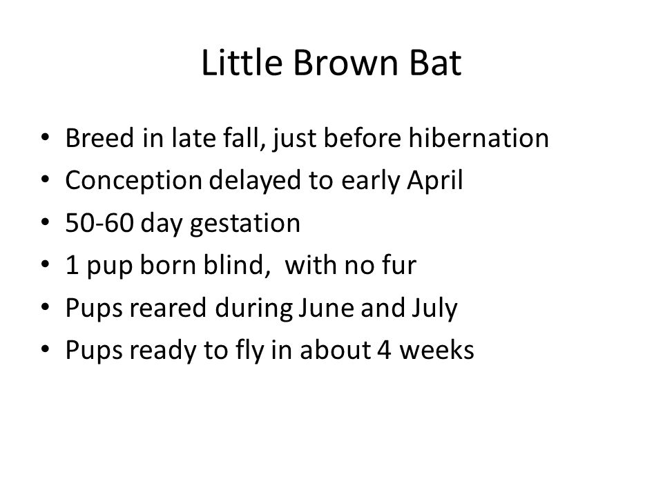 Little Brown Bat Breed in late fall, just before hibernation Conception delayed to early April 50-60 day gestation 1 pup born blind, with no fur Pups reared during June and July Pups ready to fly in about 4 weeks