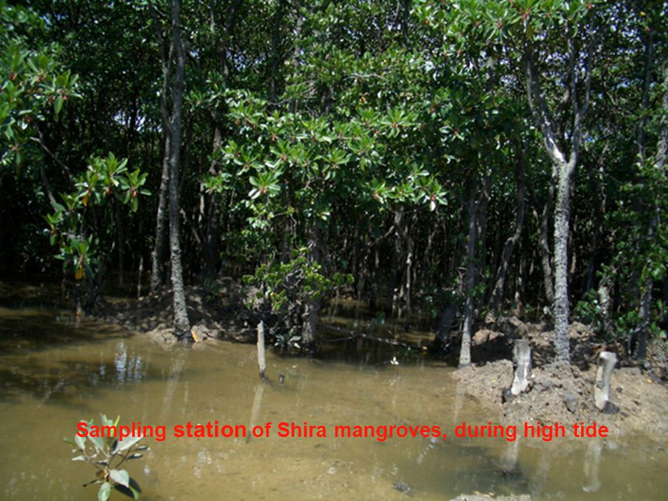 Sampling station of Shira mangroves, during high tide