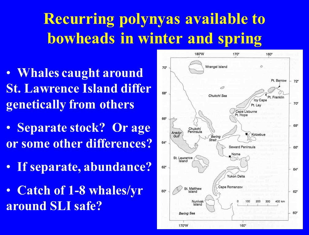 Recurring polynyas available to bowheads in winter and spring Whales caught around St.