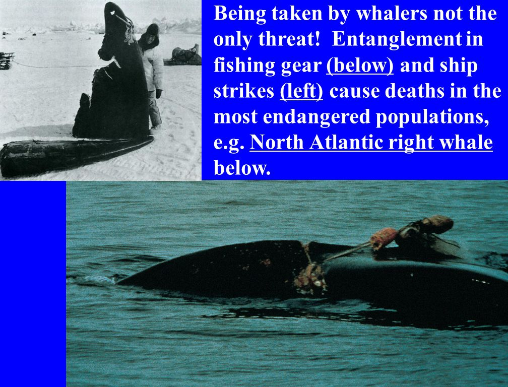 Being taken by whalers not the only threat.