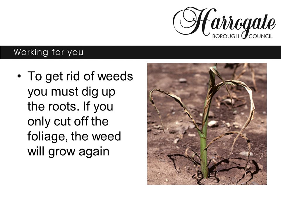 To get rid of weeds you must dig up the roots.