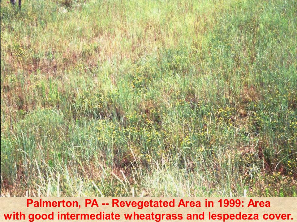 Palmerton, PA -- Revegetated Area in 1999: Area with good intermediate wheatgrass and lespedeza cover.