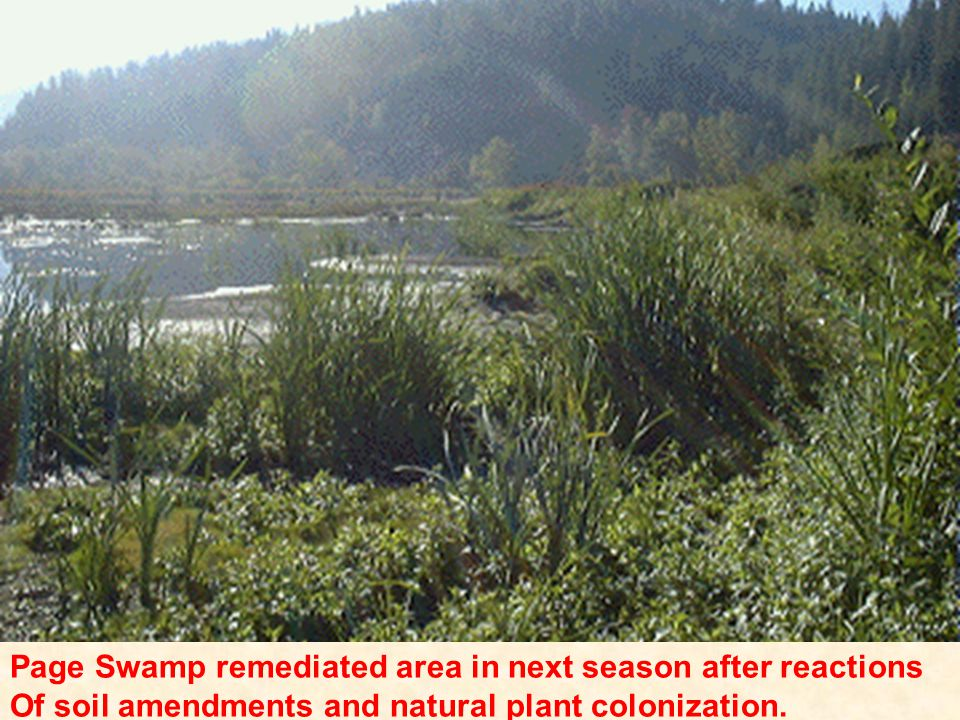 Page Swamp remediated area in next season after reactions Of soil amendments and natural plant colonization.