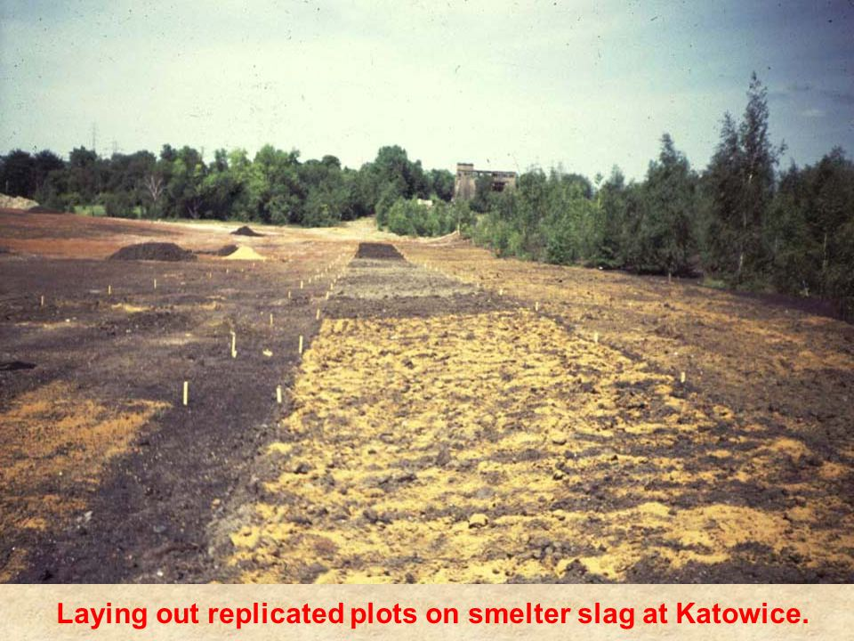 Laying out replicated plots on smelter slag at Katowice.
