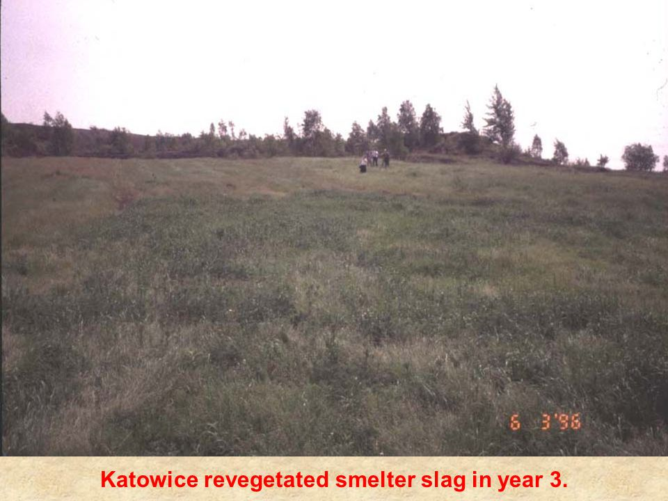 Katowice revegetated smelter slag in year 3.