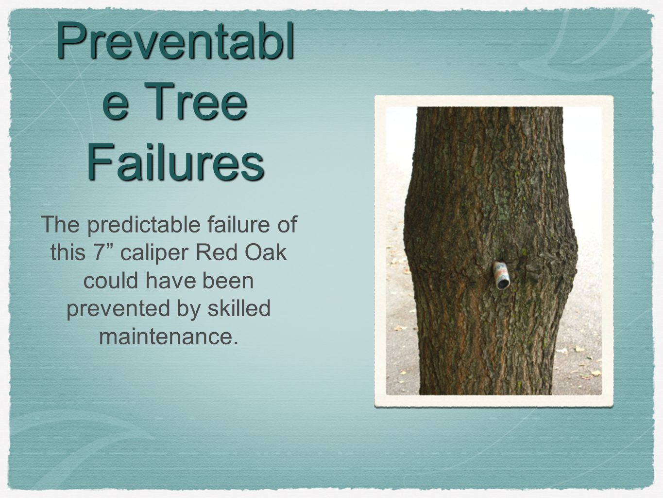 Preventabl e Tree Failures The predictable failure of this 7 caliper Red Oak could have been prevented by skilled maintenance.