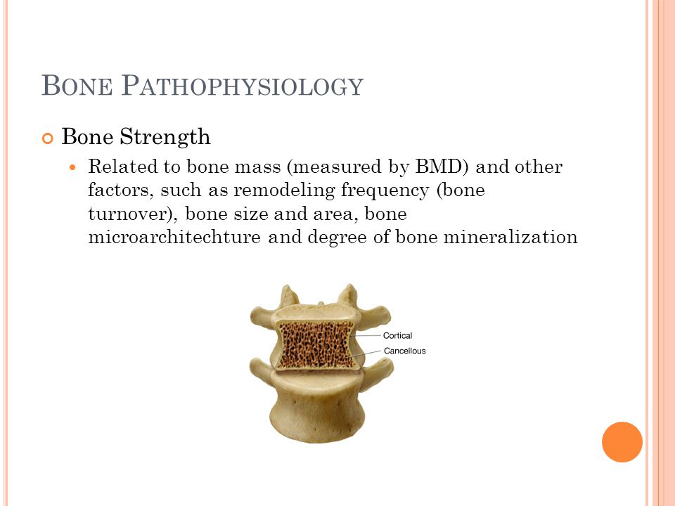 B ONE P ATHOPHYSIOLOGY Bone Strength Related to bone mass (measured by BMD) and other factors, such as remodeling frequency (bone turnover), bone size
