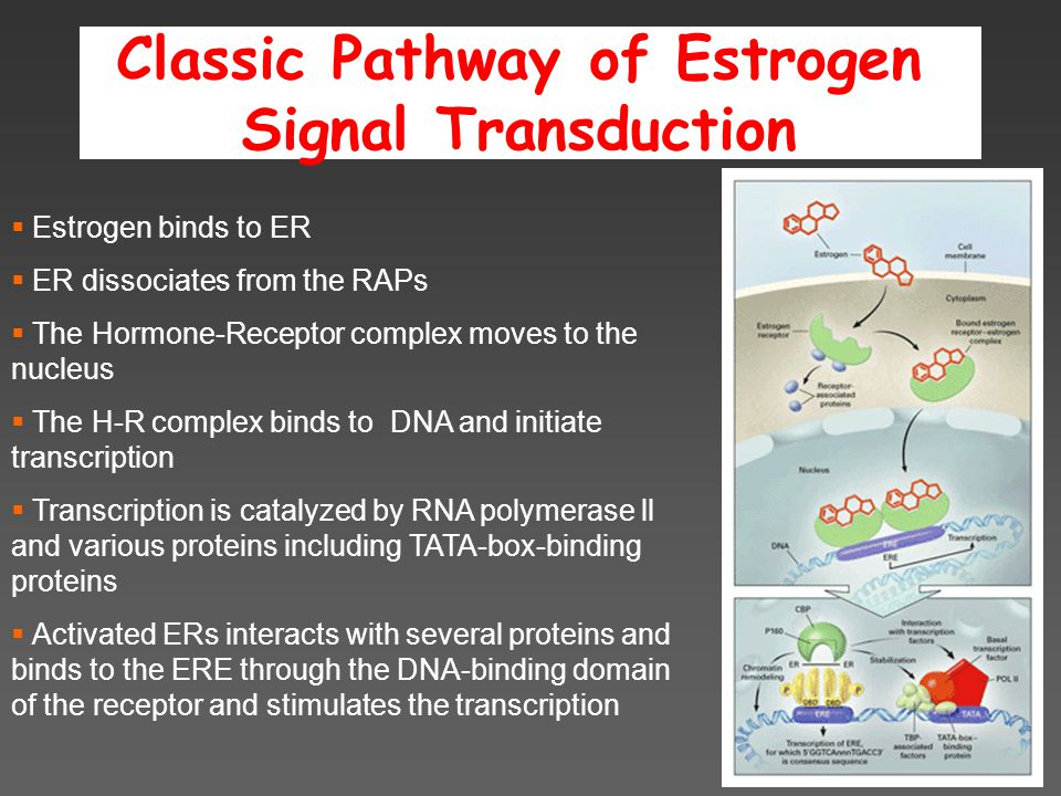 Classic Pathway of Estrogen Signal Transduction  Estrogen binds to ER  ER dissociates from the RAPs  The Hormone-Receptor complex moves to the nucleus  The H-R complex binds to DNA and initiate transcription  Transcription is catalyzed by RNA polymerase ll and various proteins including TATA-box-binding proteins  Activated ERs interacts with several proteins and binds to the ERE through the DNA-binding domain of the receptor and stimulates the transcription