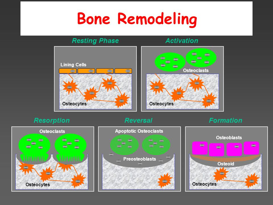Osteocytes Osteoclasts Reversal Apoptotic Osteoclasts Lining Cells Osteocytes Activation Osteocytes Formation Osteoblasts Osteocytes Resorption Resting Phase Osteoclasts Bone Remodeling Osteoid Lining Cells Osteocytes Preosteoblasts