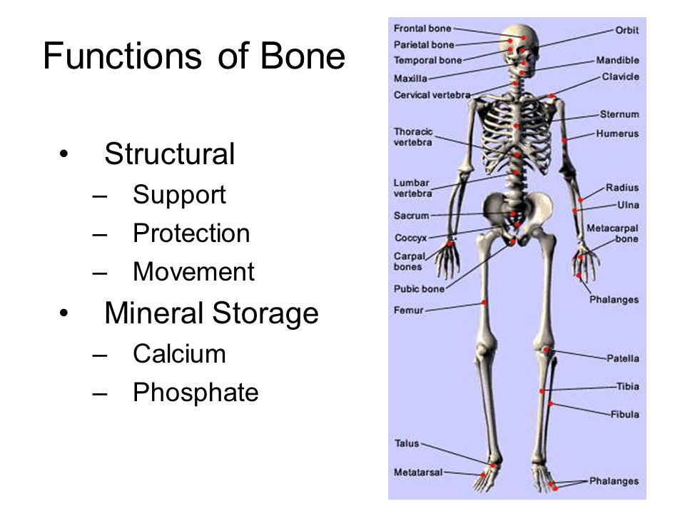 Issue of Peak Bone Mass Bone mass peaks in the 20's, starts dropping in the late 30's and accelerates significantly after menopause Risk for osteoporosis depends on peak mass and rate of loss Peak bone mass depends on –Genetics –Calcium, diet, exercise, etc.