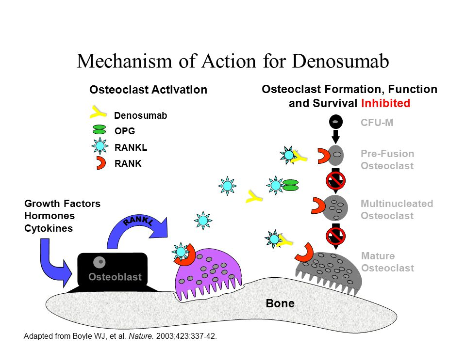 Mechanism of Action for Denosumab Osteoclast Formation, Function and Survival Inhibited Osteoclast Activation Adapted from Boyle WJ, et al.