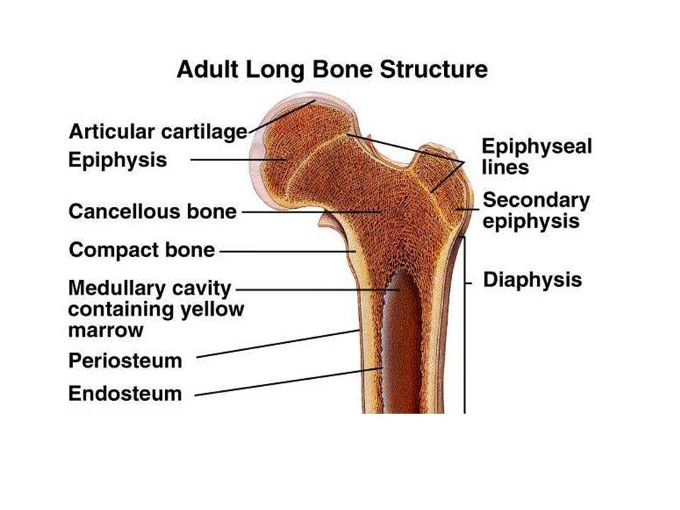 Bone Turnover Bone Turnover Relative to Development Formation Resorption Formation > Resorption High Turnover Formation = ResorptionFormation < Resorption Formation < Resorption Low Turnover Female Male