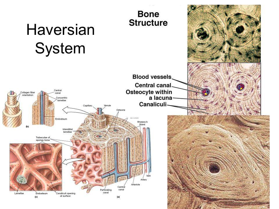 Summary of Bone Feedback Control System Bone mechanical properties Strain (Deformation) Canaliculi network resistance Osteocytes produce Nitrous oxide / Prostaglandins Osteoblasts External Loads Hormones / Cytokines Osteoclasts + - Streaming flows and osteocytes deformed SGPs or direct strain Hormones / Cytokines Osteocytes produce sclerostin -
