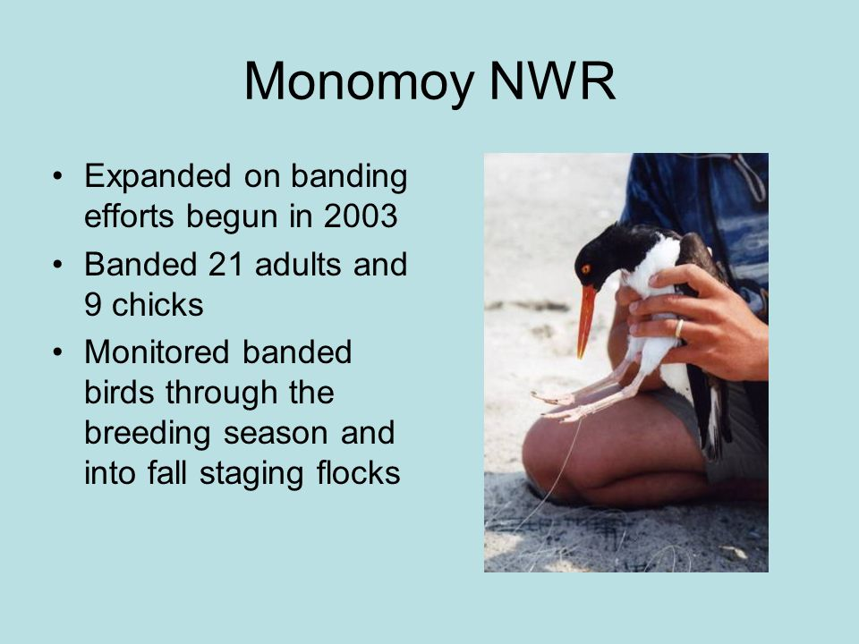 Monomoy NWR Expanded on banding efforts begun in 2003 Banded 21 adults and 9 chicks Monitored banded birds through the breeding season and into fall staging flocks