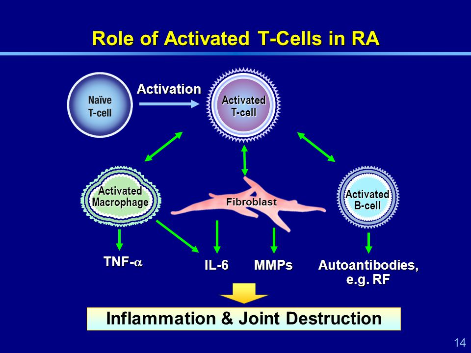 14 Fibroblast Role of Activated T-Cells in RA Activated Macrophage Activated B-cell IL-6 TNF-  MMPs Autoantibodies, e.g.