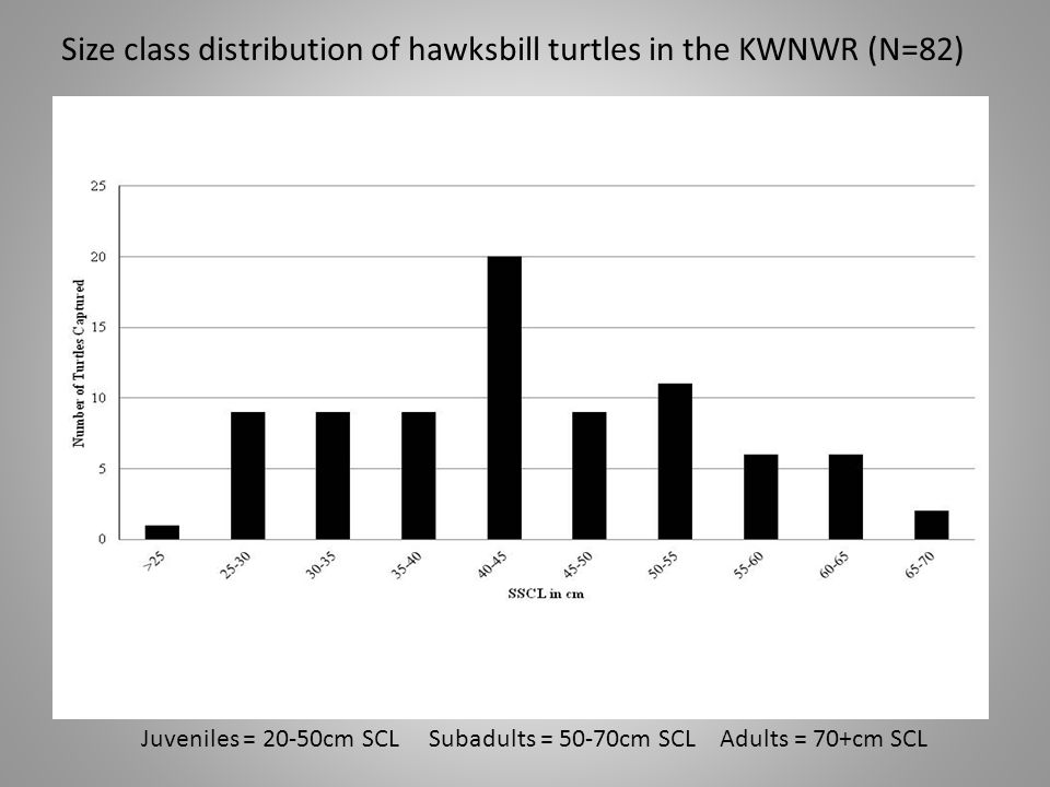 Size class distribution of hawksbill turtles in the KWNWR (N=82) Juveniles = 20-50cm SCL Subadults = 50-70cm SCL Adults = 70+cm SCL