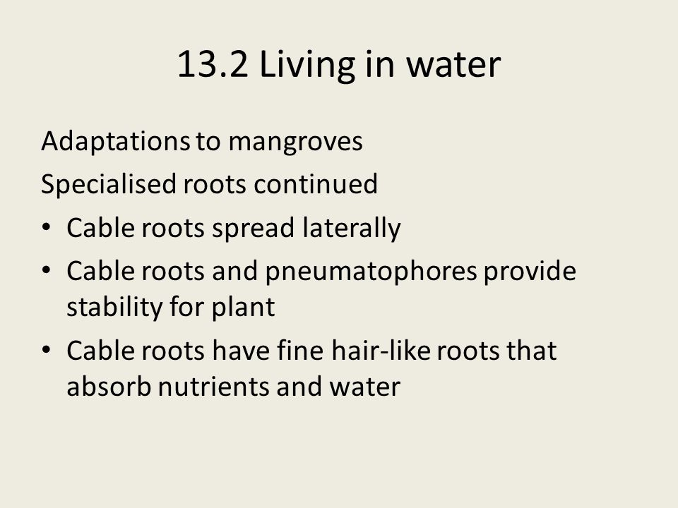 13.2 Living in water Adaptations to mangroves Specialised roots continued Cable roots spread laterally Cable roots and pneumatophores provide stabilit