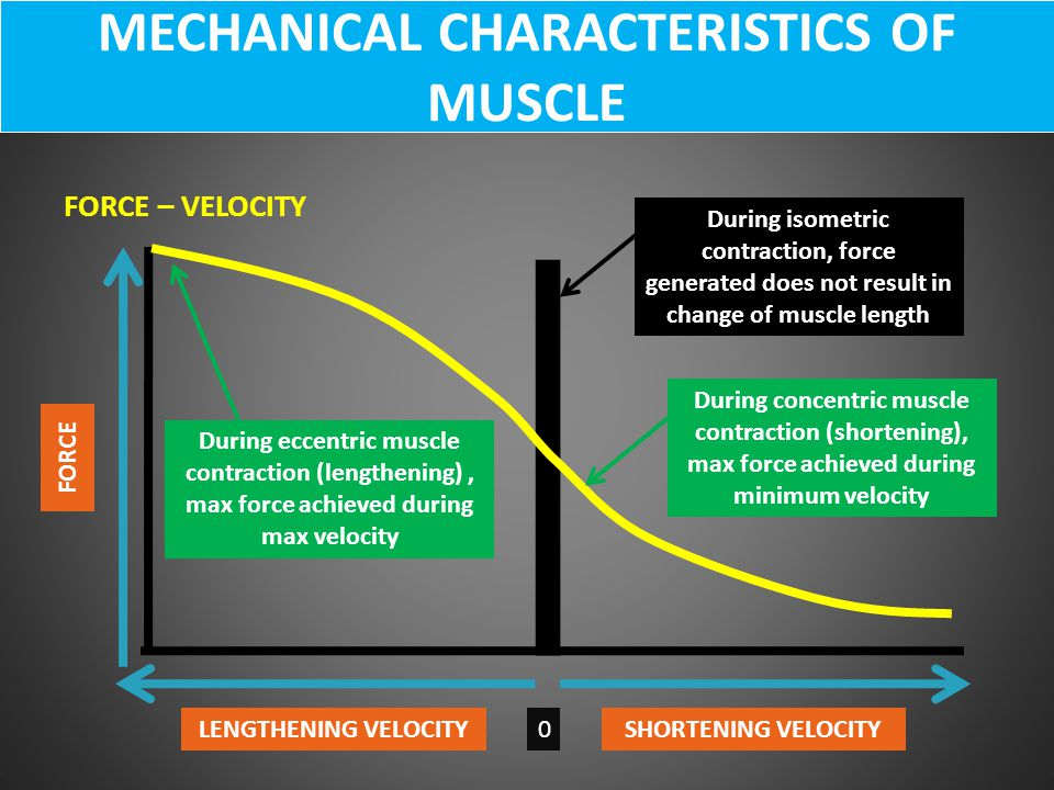 FORCE – VELOCITY MECHANICAL CHARACTERISTICS OF MUSCLE LENGTHENING VELOCITYSHORTENING VELOCITY0 FORCE During eccentric muscle contraction (lengthening)