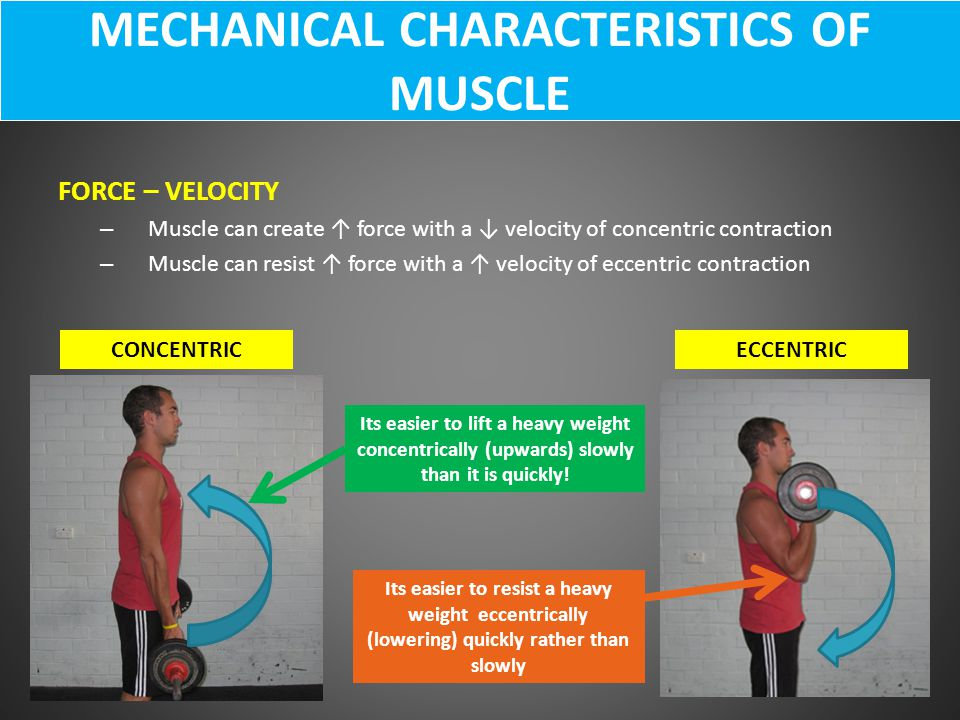 MECHANICAL CHARACTERISTICS OF MUSCLE FORCE – VELOCITY – Muscle can create ↑ force with a ↓ velocity of concentric contraction – Muscle can resist ↑ fo